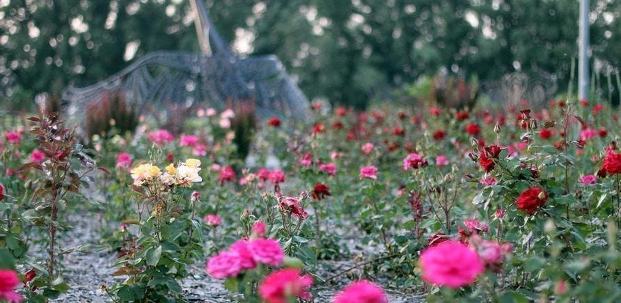 'Плани на вихідні: квітуча Долина Троянд '