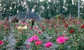 Статья 'Планы на выходные: цветущая Долина роз '
