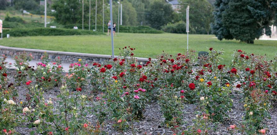 Фото 1 - Плани на вихідні: квітуча Долина Троянд
