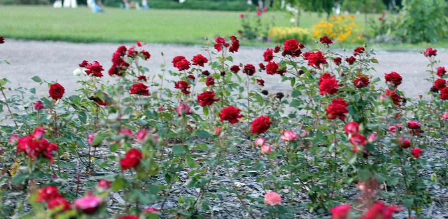 Фото 3 - Планы на выходные: цветущая Долина роз