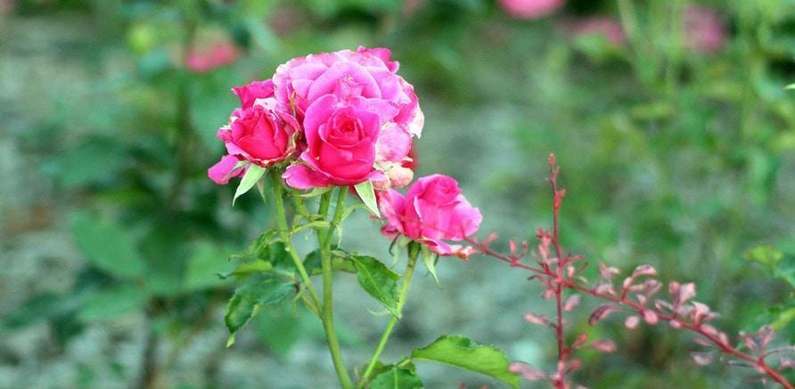 Фото 4 - Планы на выходные: цветущая Долина роз