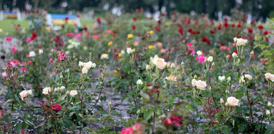 Фото 6 - Планы на выходные: цветущая Долина роз