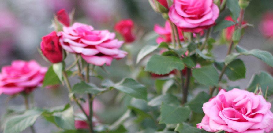 Фото 7 - Плани на вихідні: квітуча Долина Троянд