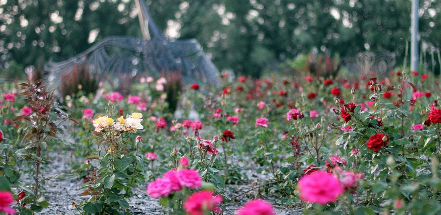 Фото 9 - Плани на вихідні: квітуча Долина Троянд