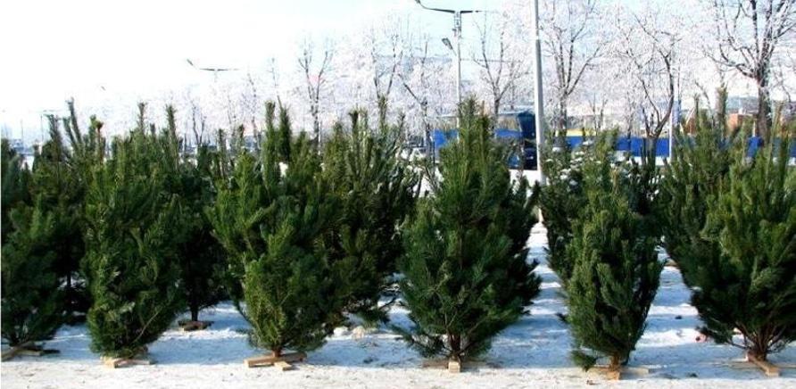 'Где купить елку в Черкассах?'