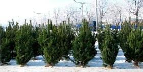 Статья 'Где купить елку в Черкассах?'