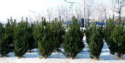 'Новый год 2019' - статья Где купить елку в Черкассах?