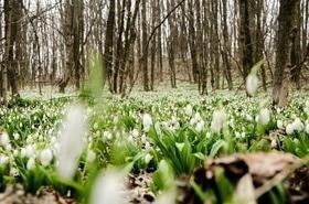 """Статья '""""Подснежникомания"""": черкасщане едут охранять редкий цветок в Холодный Яр'"""