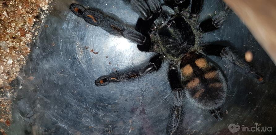 Фото 3 - Пауки, ящерицы, скорпион и питон: у школьницы дома живет несколько десятков экзотических любимцев