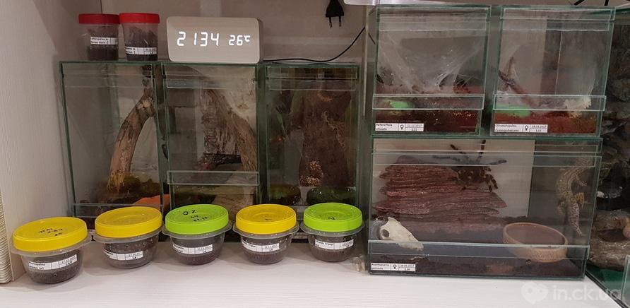 Фото 4 - Пауки, ящерицы, скорпион и питон: у школьницы дома живет несколько десятков экзотических любимцев