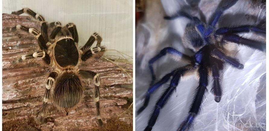 Фото 6 - Пауки, ящерицы, скорпион и питон: у школьницы дома живет несколько десятков экзотических любимцев
