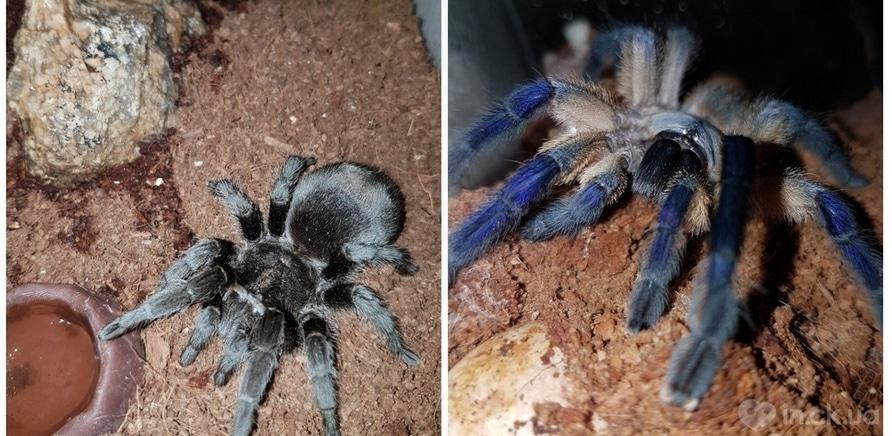 Фото 10 - Пауки, ящерицы, скорпион и питон: у школьницы дома живет несколько десятков экзотических любимцев