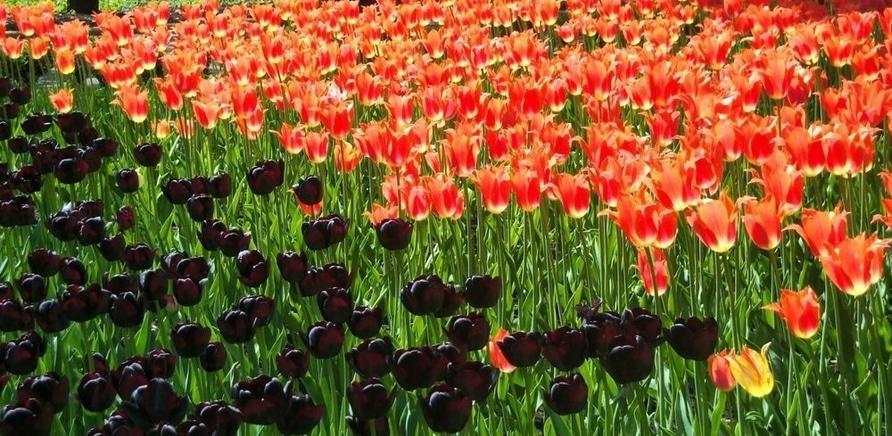 Фото 2 - Тюльпановый рай в Кропивницкому. Фото – Masha Kovalchuk, lookmytrips.com