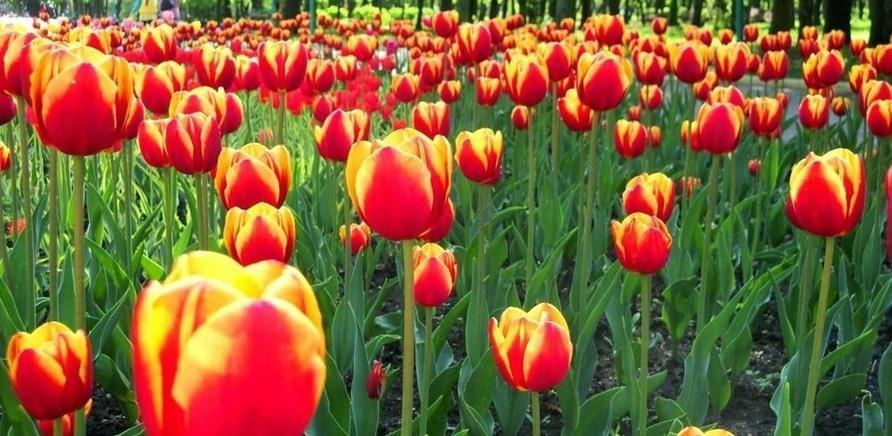 Фото 3 - Тюльпановый рай в Кропивницкому. Фото – Masha Kovalchuk, lookmytrips.com