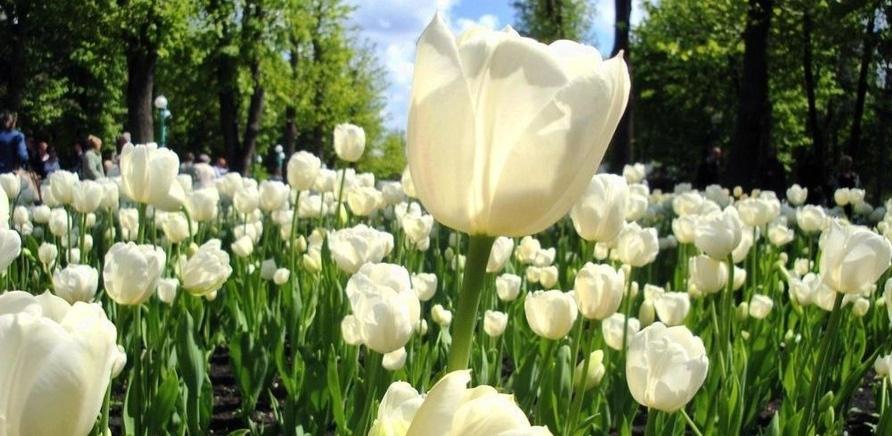 Фото 4 - Тюльпановый рай в Кропивницкому. Фото – Masha Kovalchuk, lookmytrips.com