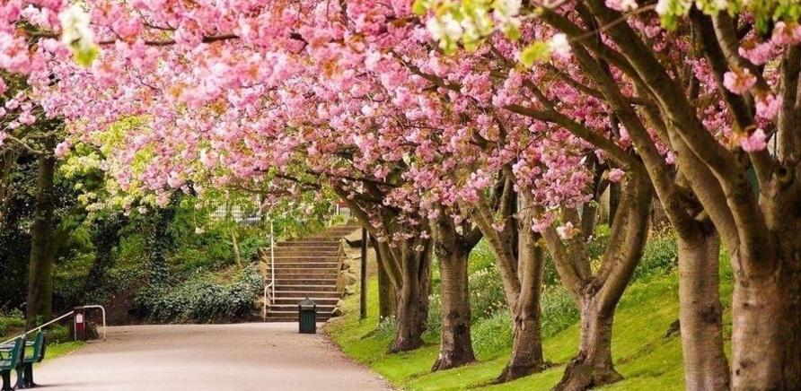 'В Долине роз появится аллея сакур'