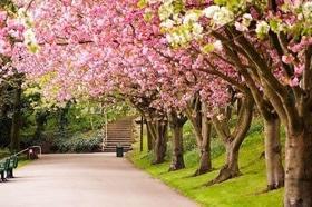 Статья 'В Долине роз появится аллея сакур'