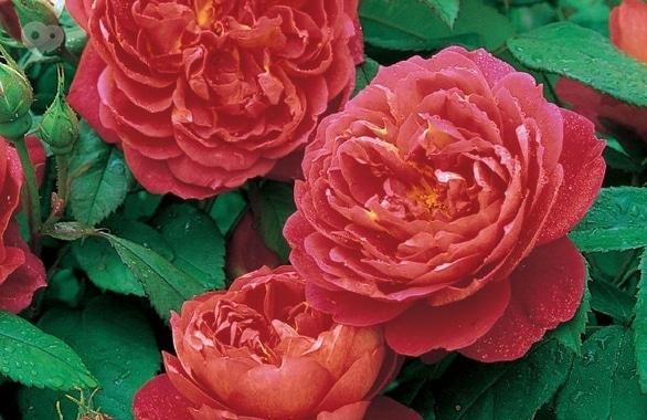 Фото 2 - Рассадник роз Rosarium