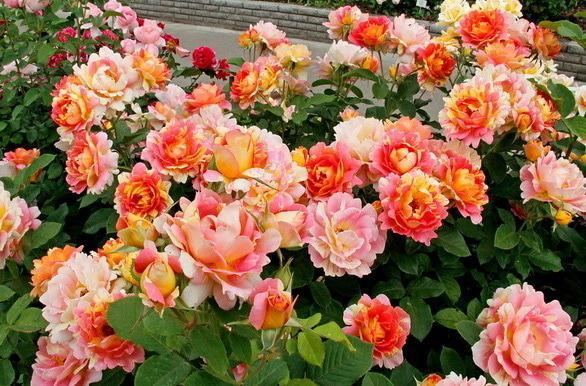 Rosarium, рассадник роз - Роза Систерсьен (Осень 2018)