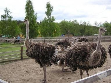Мандрівник, туристична компанія - Ясногородська страусина ферма