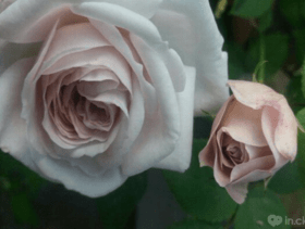 """Знижки на троянди із каталогу """"Осінь 2017"""" від інтернет – магазину Rosarium"""